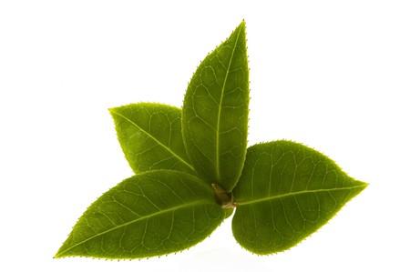 green tea leaf: tea Stock Photo