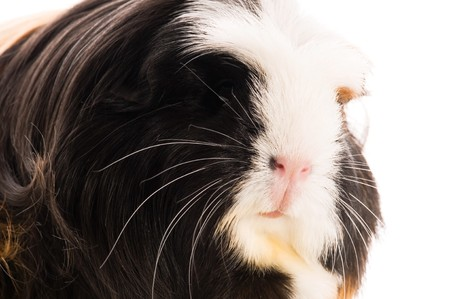 guinea pig Stock Photo - 8556697