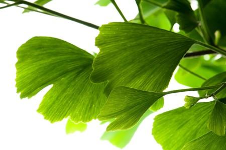 whitern: Ginkgo biloba green leaf isolated on white background  Stock Photo