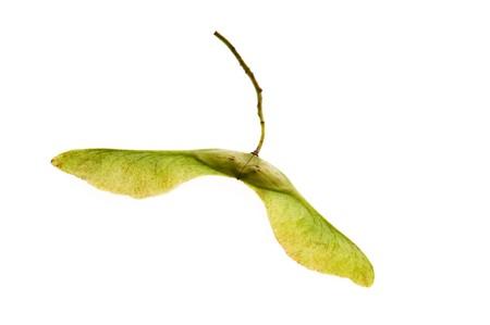 プラタナス: 白い背景の上のシカモア種子 写真素材
