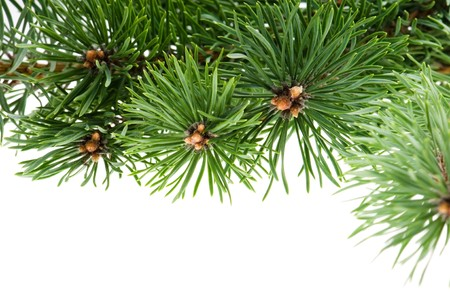 pine branch isolated on the white background photo