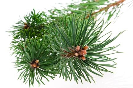 evergreen branch: rama de pino aislado en el fondo blanco