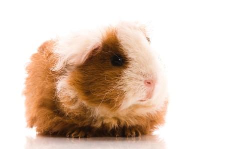 baby guinea pig  photo