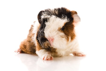 baby guinea pig isolated on the whitebaby guinea pig isolated on the white photo