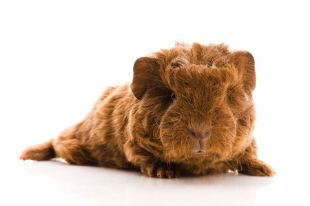 baby guinea pig  photo