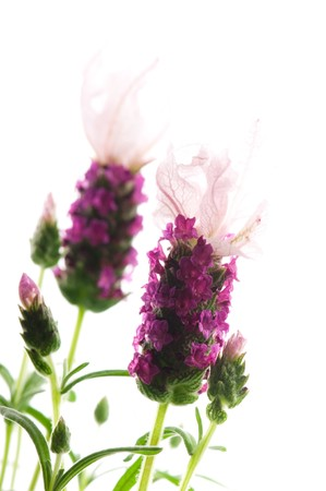 lavender flower on the white background photo