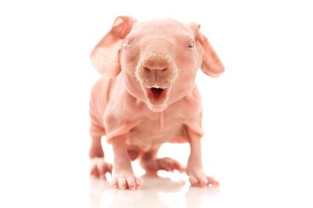 hairless: skinny guinea pig on the white Stock Photo