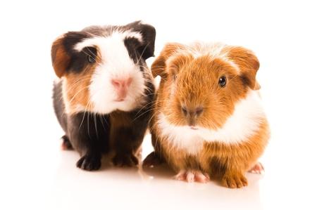 Baby Meerschweinchen