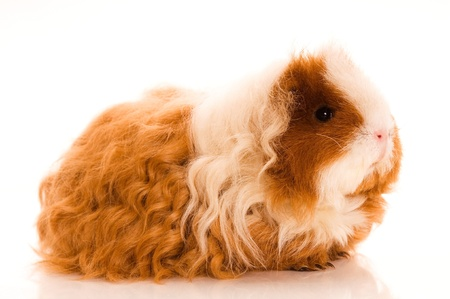 guinea pig: long hair guinea pig isolated on the white background