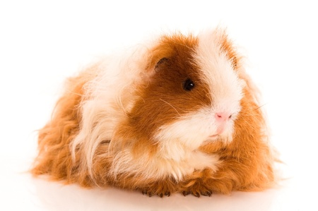 long hair guinea pig isolated on the white background photo