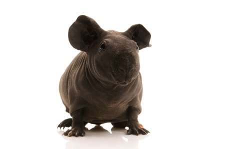 skinny guinea pig on the white photo