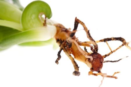 Aloe vera - herbal medicine  photo