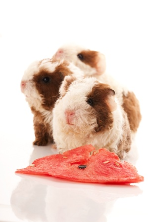 baby guinea pig Stock Photo - 10164157