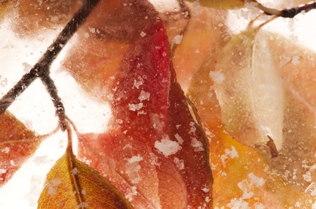 Autumn leaves - branch frozen in the ice cube Stock Photo - 10379041