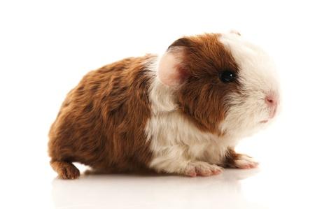 guinea: baby guinea pig Stock Photo