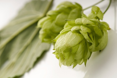 Hop cone and leaves on white background  photo