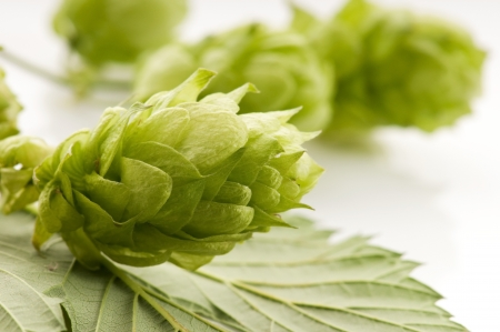 estrogen: Hop cone and leaves on white background