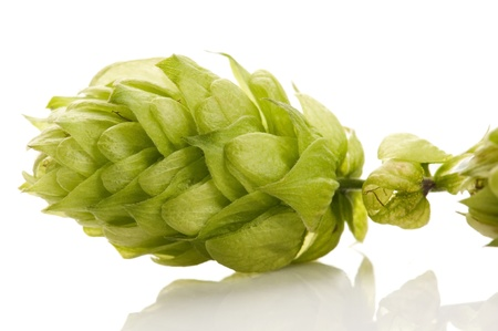 common hop: Hop cone and leaves on white background