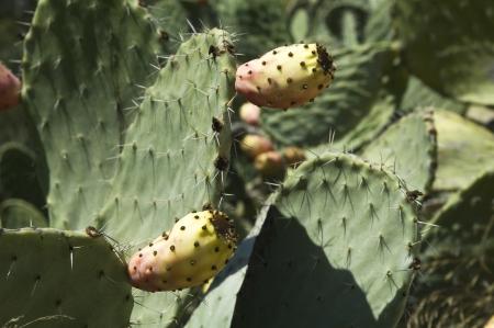 opuntia: Opuntia cactus with fruit