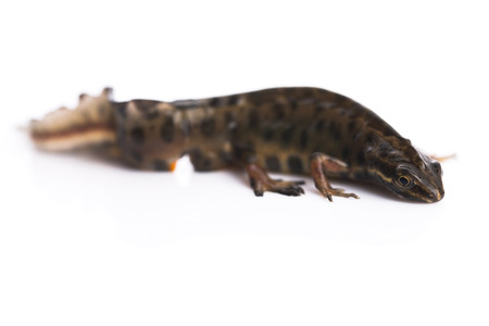 newt: Smooth newt on white background