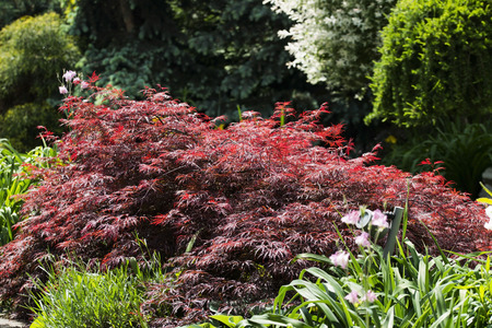 acer palmatum: Japanese maple Acer palmatum Stock Photo