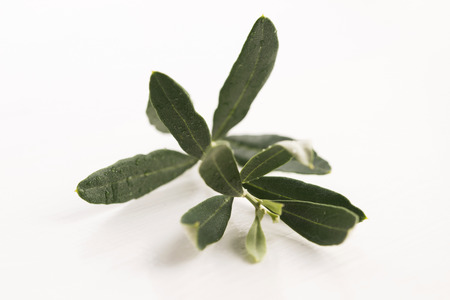 olive green: Olive branch with green leaves