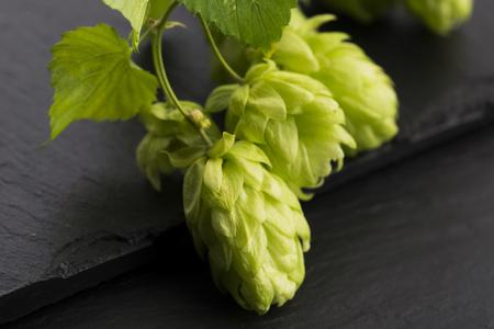 hop cones: Fresh green hop cones