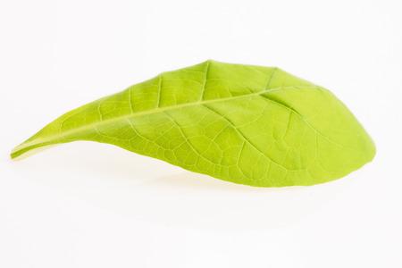 tobacco leaf: green tobacco leaf isolated on the white background