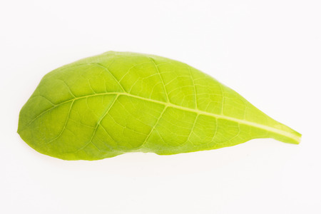 ferment: green tobacco leaf isolated on the white background