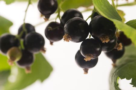 Blackcurrant fruit full of vitamins Banco de Imagens