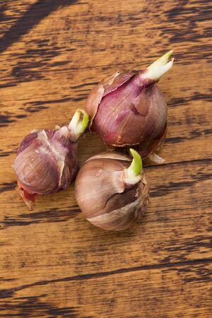 Baumzwiebeln, Spitzenzwiebeln, Wanderzwiebeln oder Ägyptische Zwiebeln Allium proliferum Standard-Bild