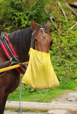 A working horse during its lunch break eating from a bag photo