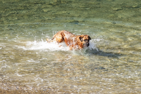 large dog: Large dog playing in the sea water
