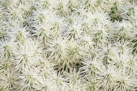 Texture or background of a cactus bush growing in the Jardin de Cactus in Lanzarote, Canary Islands Stock Photo - 26704885