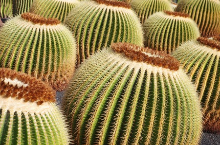 Echinocactus grusonii also known as The Golden Barrel Cactus growing in the Jardin de Cactus in Lanzarote, Canary Islands