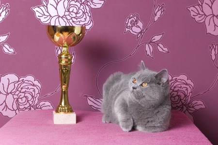 proud champion british shorthair kitten with a cup