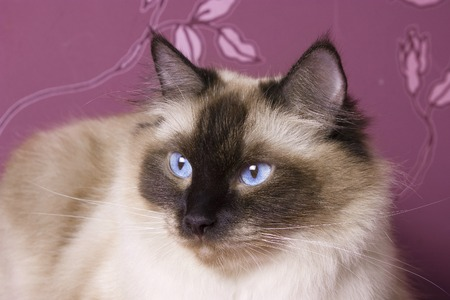 Portrait of a ragdoll cat on a pink background  Stock Photo
