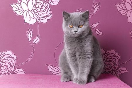 british blue shorthair kitten sitting on a pink background