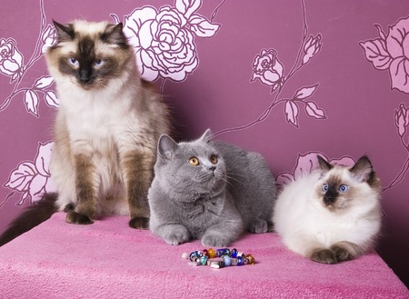 group of purebred cats of different breeds on a pink background