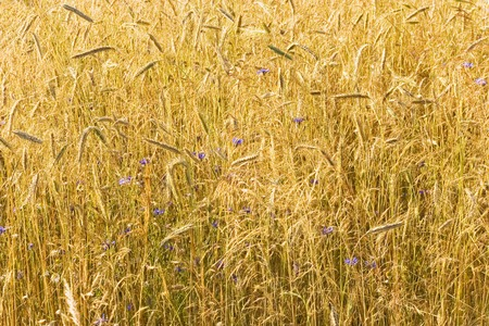 blue cornflowers in the field of yellow wheat