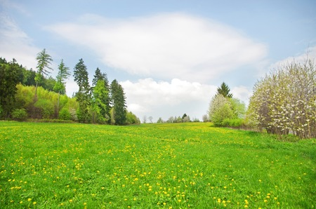 Mountain meadow in spring with yellow dandelion flowers photo