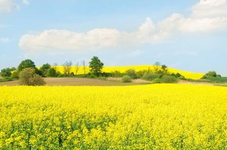 yellow rape field in Silesia, southern Poland Stock Photo