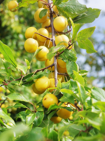 yellow mirabelle plum fruit on a branch Stock Photo