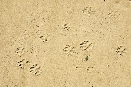 dog paws prints in the wet sand on a beach Stock Photo - 31761929