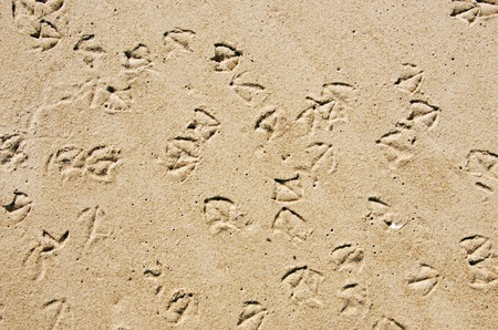 seagull feet prints in the wet sand on a beach