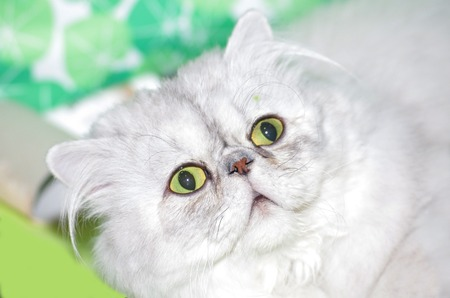 portrait of a persian cat surprised or scared Stock Photo - 32379239