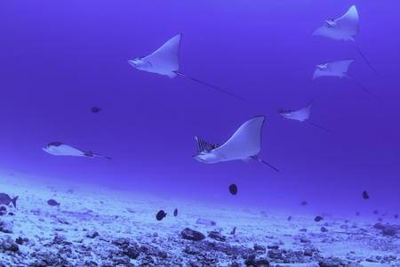 Eagle rays, Mexico Stock Photo - 8706692