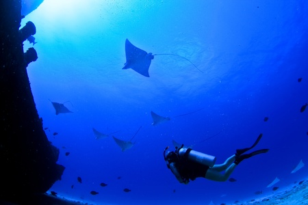 spotted ray: eagle rays and a scuba diver on a wreck in mexico