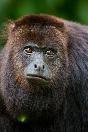 A close up of a howler monkey in the wild, Belize.