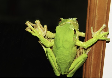 tribulation: tree frog on a mirror